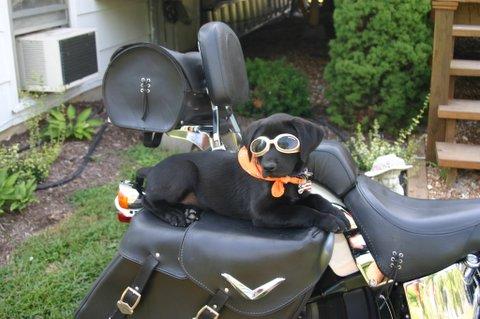 DOG'S & BIKES ATTITUDES - Page 3 Harley_boy